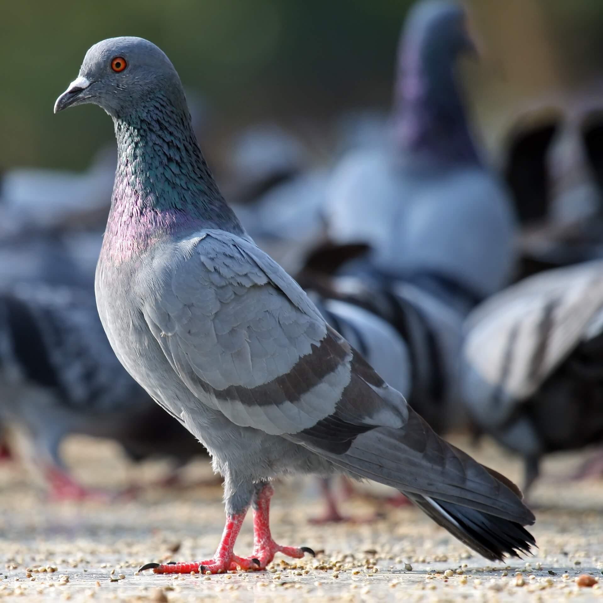 Почему голуби «кивают» при ходьбе?